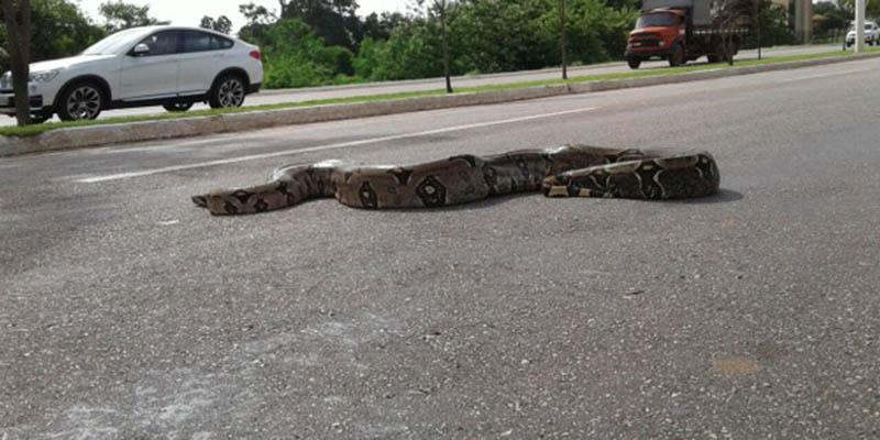 Jiboia de dois metros é flagrada atravessando avenida em Palmas