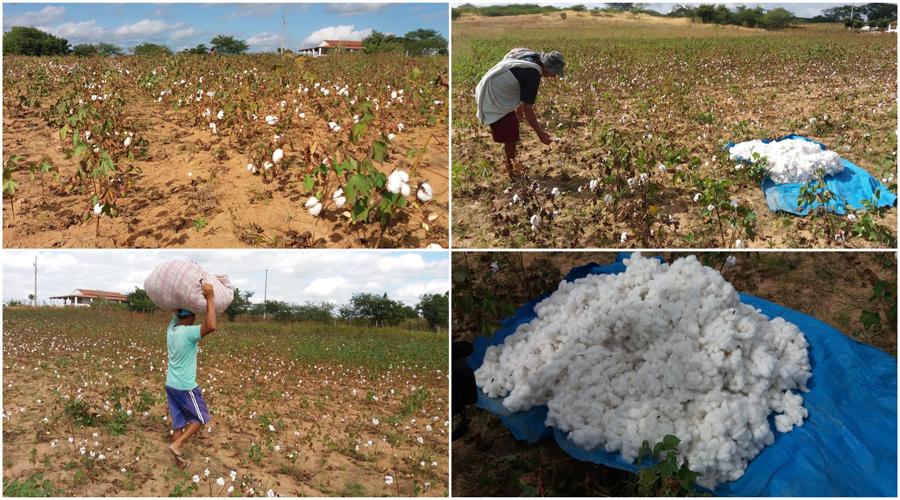Grupo de agricultores volta a investir em algodão em Cajazeirinhas