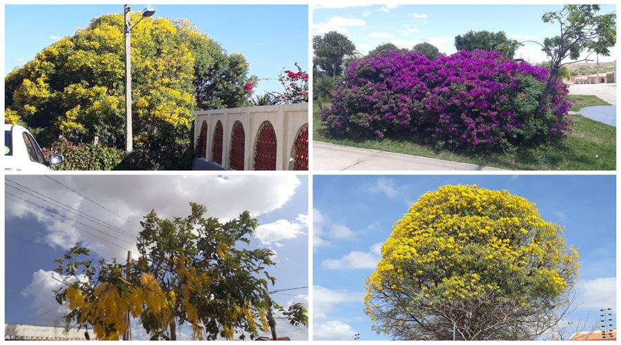 Árvores em floração em Patos