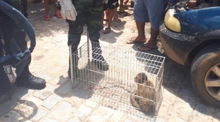 Macaco-prego apronta em São José do Bonfim e é apreendido pela Polícia Ambiental
