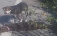 Cachorro fica 3 dias ao lado de cadela morta por atropelamento no Ceará